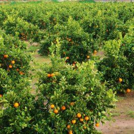 Cítricos y frutales ocupan el 49% de las tierras de cultivo de la Comunitat Valenciana