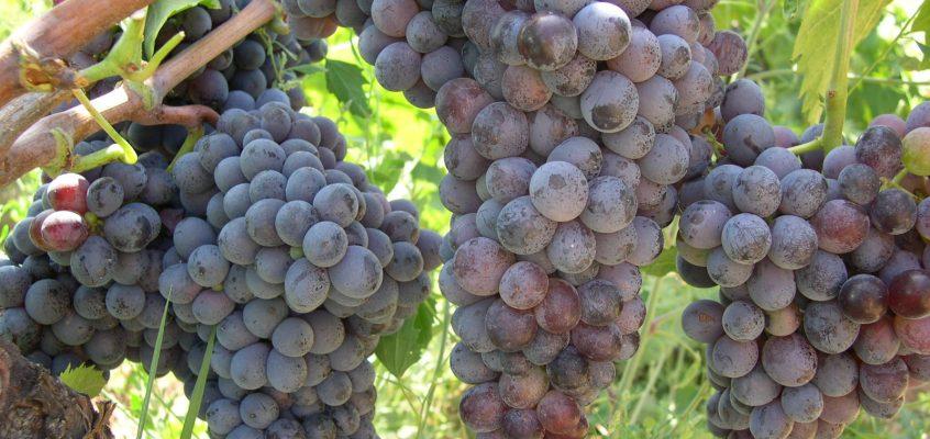 MAGRAMA concede autorización para 4.176 ha de nuevas plantaciones de viñedo en 2016