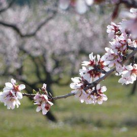 El sector de frutos secos incrementa la previsión inicial de producción de almendra