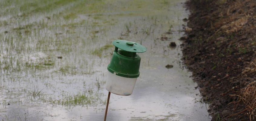 Cooperatives Agro-alimentàries de la CV y la Conselleria de Agricultura inician la campaña de protección del arrozal frente al cucat
