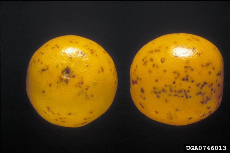 Citrus_Black_Spot_on_Valencia_orange
