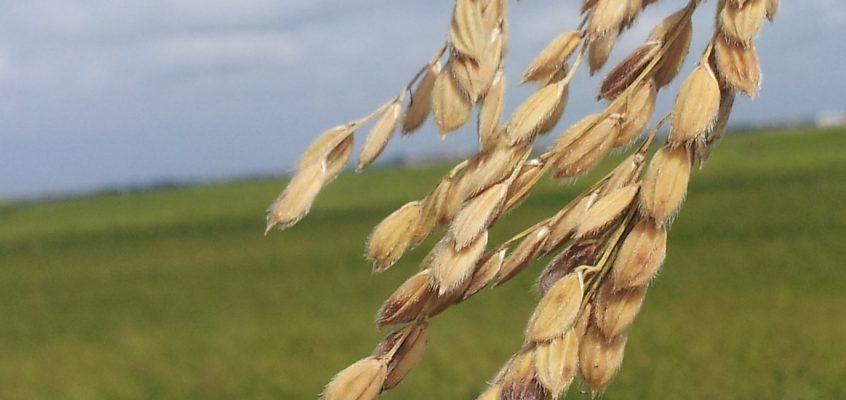 El IVIA trabaja en la obtención de nuevas líneas de arroz más resistentes a los patógenos