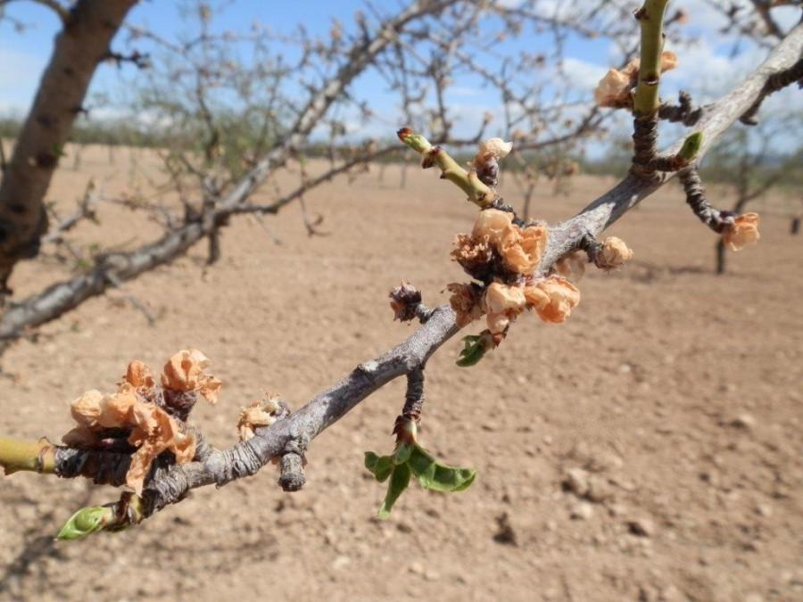 Efectos de la sequía en un almendro | FUENTE: El Campo de Crisolar