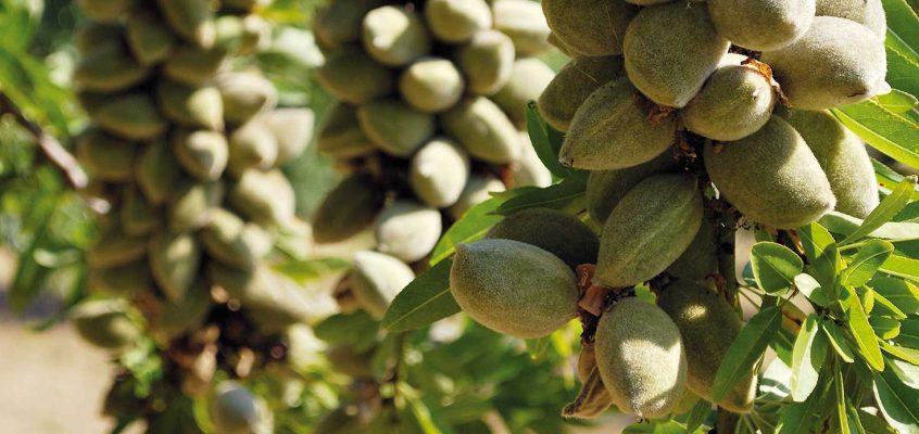 Federació organiza una jornada en Enguera sobre el cultivo de almendro en regadío